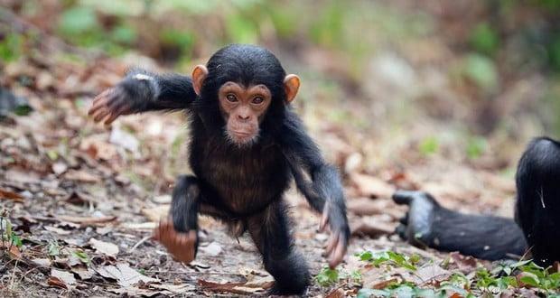 Chimp infants