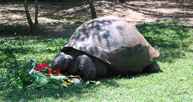 Harriet tortoise