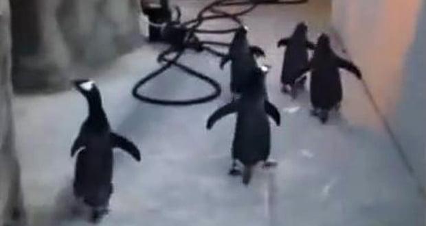 Penguins escape