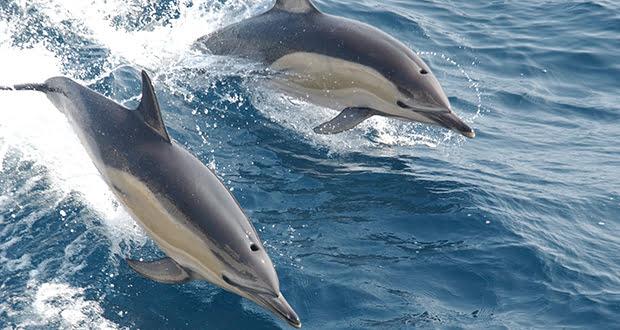 Kamikaze dolphins