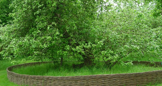 Issac Newton apple tree