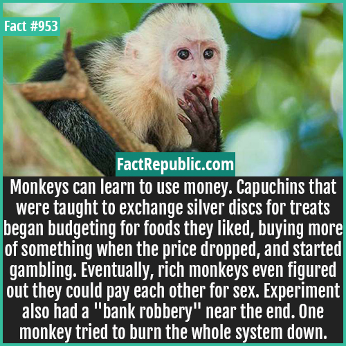 953. Capuchins Money Experiments-Monkeys can learn to use money. Capuchins that were taught to exchange silver discs for treats began budgeting for foods they liked, buying more of something when the price dropped, and started gambling. Eventually, rich monkeys even figured out they could pay each other for sex. Experiment also had a