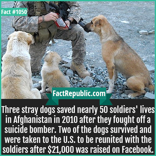 1050. Heroic Afghan Dogs-Three stray dogs saved nearly 50 soldiers' lives in Afghanistan in 2010 after they fought off a suicide bomber. Two of the dogs survived and were taken to the U.S. to be reunited with the soldiers after $21,000 was raised on Facebook.