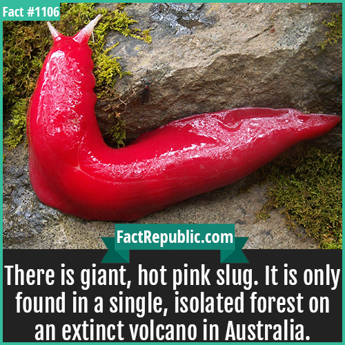 1106. Pink Slug-There is giant, hot pink slug. It is only found in a single, isolated forest on an extinct volcano in Australia.