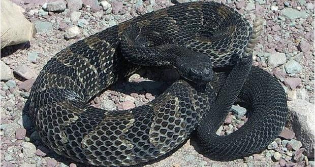 Female rattlesnake