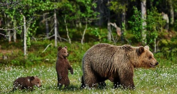 Hibernating bears