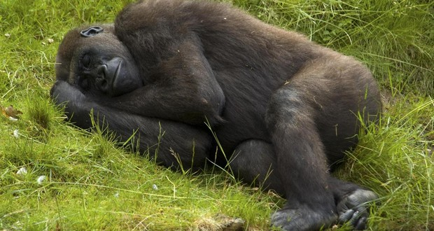 Apes sleep