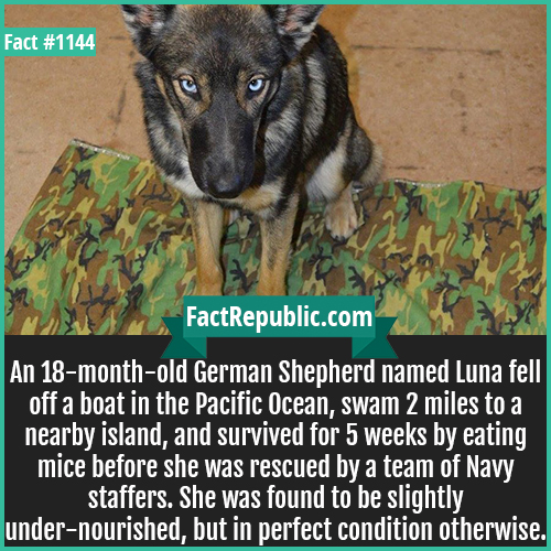 1144. German Shepherd Luna-An 18-month-old German Shepherd named Luna fell off a boat in the Pacific Ocean, swam 2 miles to a nearby island, and survived for 5 weeks by eating mice before she was rescued by a team of Navy staffers. She was found to be slightly under-nourished, but in perfect condition otherwise.