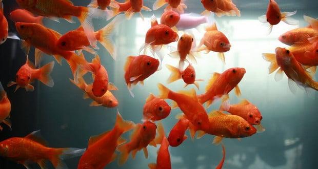 Discarded pet goldfish