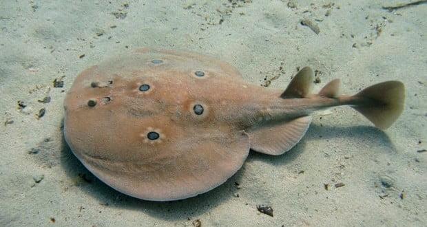Electric torpedo fish