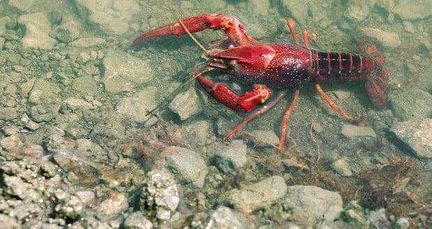 Cajun crayfish