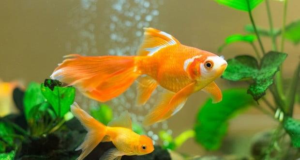 Goldfish Memory Fact Factrepublic Com