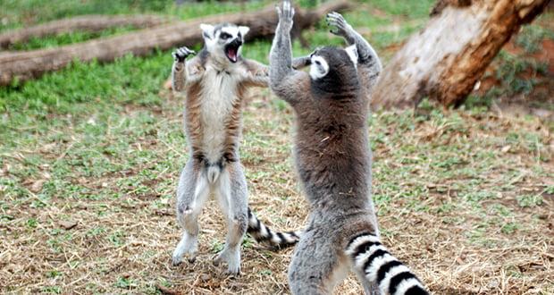 Lemurs Stink Fights