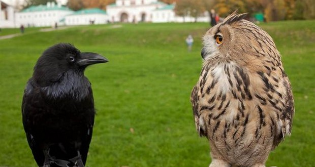 Owls and crows