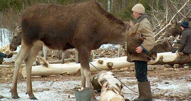 Kostroma Moose Farm