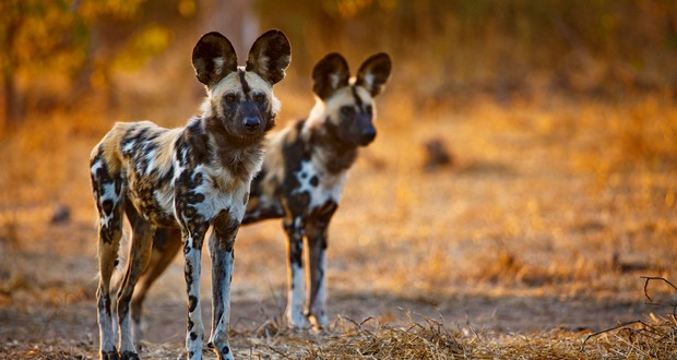 Domesticated and wild dogs