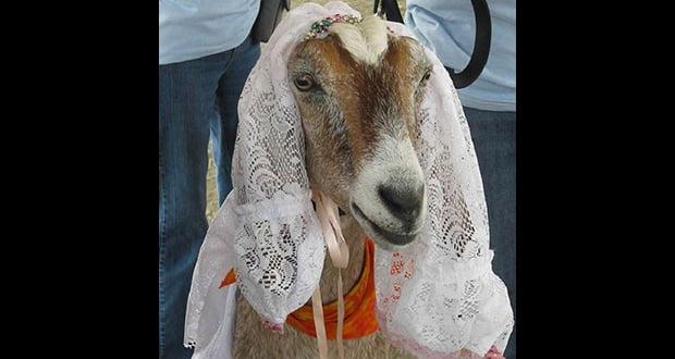 Goat Bride