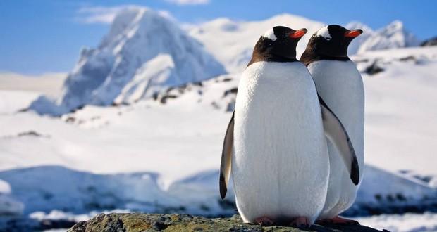 Male penguins
