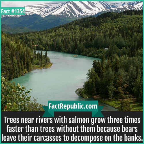 1354. Alaskan Salmon Trees-Trees near rivers with salmon grow three times faster than trees without them because bears leave their carcasses to decompose on the banks.