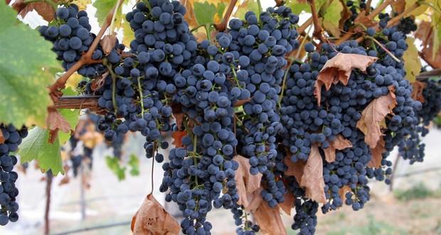 Carménère grape