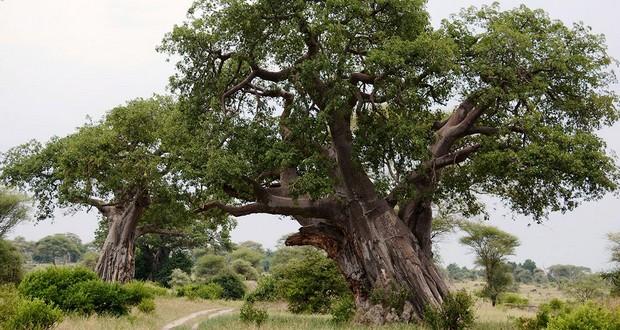 Chemchem tree
