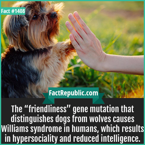 "1408. Williams Syndrome-The ""friendliness"" gene mutation that distinguishes dogs from wolves causes Williams syndrome in humans, which results in hypersociality and reduced intelligence."