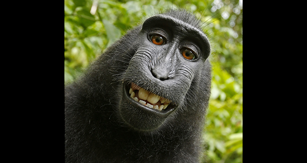 Monkey's selfie