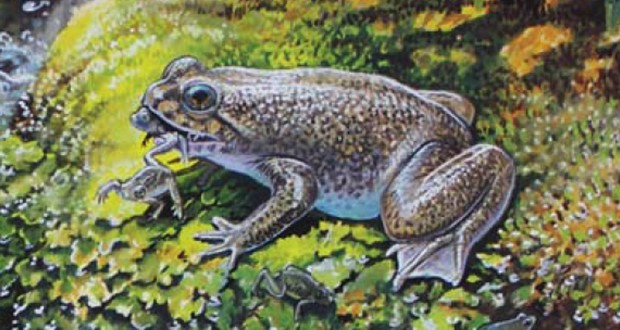 Gastric-brooding frogs
