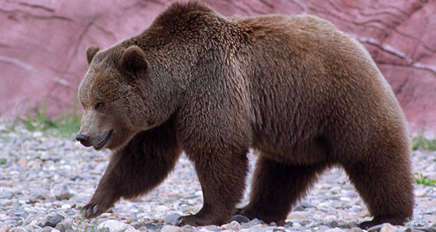 Californian grizzly bear