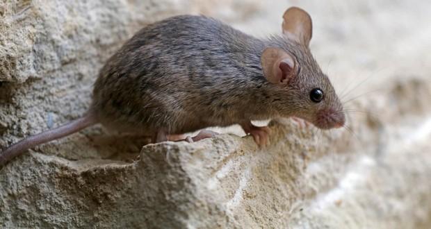 Infertile mice