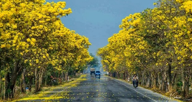 Tabebuia trees