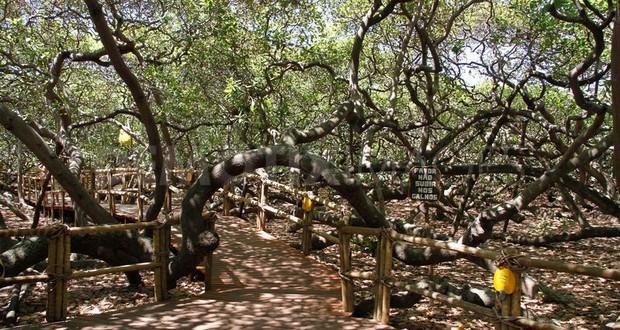 Biggest cashew tree