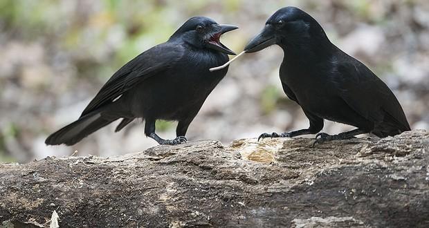 New Caledonia crows
