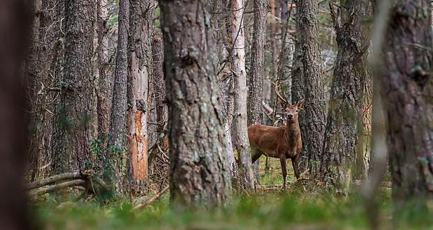 Deer saliva
