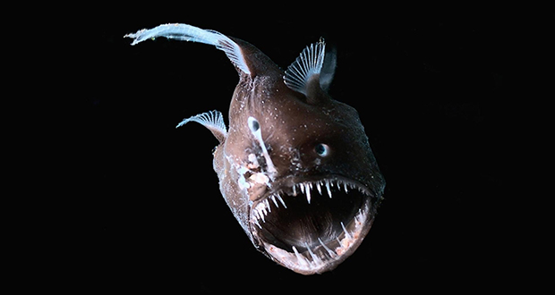 Female Anglerfish