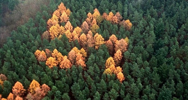 Swastika larch trees