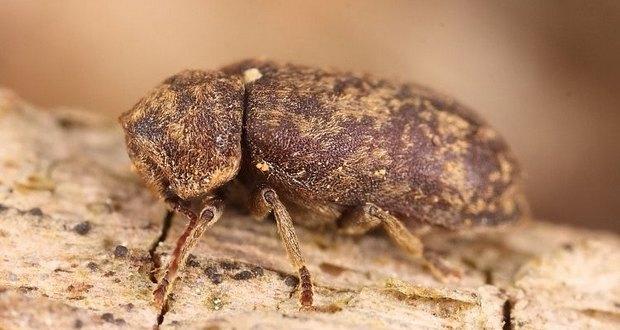 Deathwatch Beetles