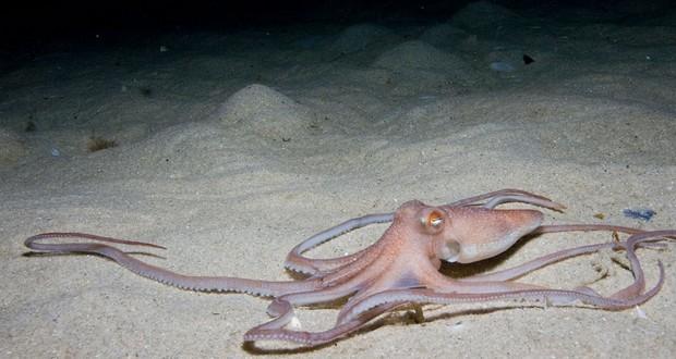 Sand Octopus