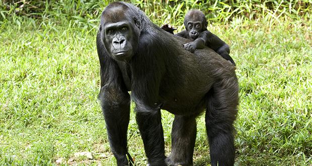 Male Western lowland gorillas