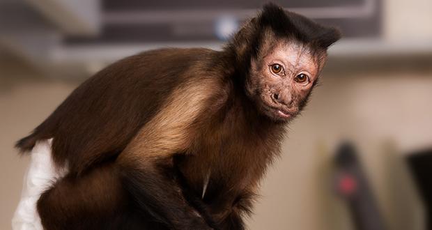 Capuchin monkeys charity