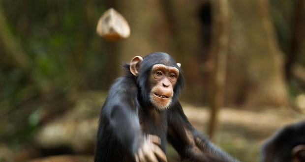 Chimp's intelligence
