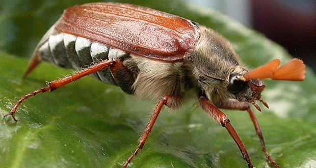 Cockchafer beetles