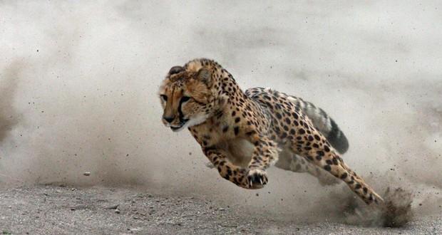 Cheetah's stride