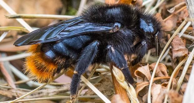 Cuckoo bumblebee