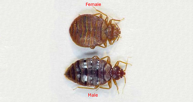 Male bed bugs