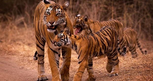 Stripes in tiger