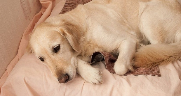 Puppy Pregnancy Syndrome
