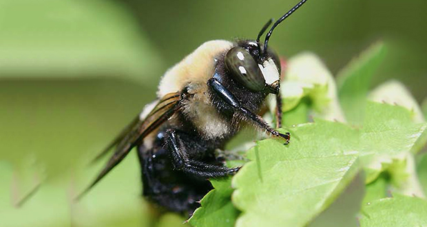 Male carpenter bees