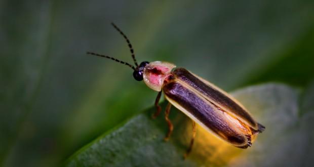Female fireflies