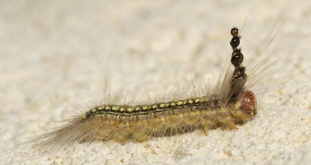 Mad Hatterpillar